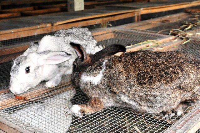 Anh Nghĩa đang làm giàu từ mô hình nuôi thỏ của mình
