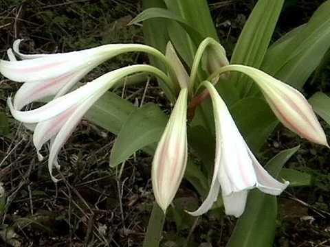 Crinum_latifolium-s