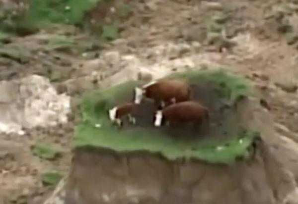 Cows-stranded-on-quake-made-islands-after-New-Zealand-earthquake
