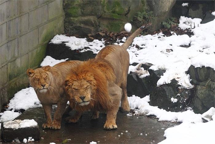 Sư tử gầm gừ vì bị du khách trêu ở vườn động vật Hàng Châu, Trung Quốc