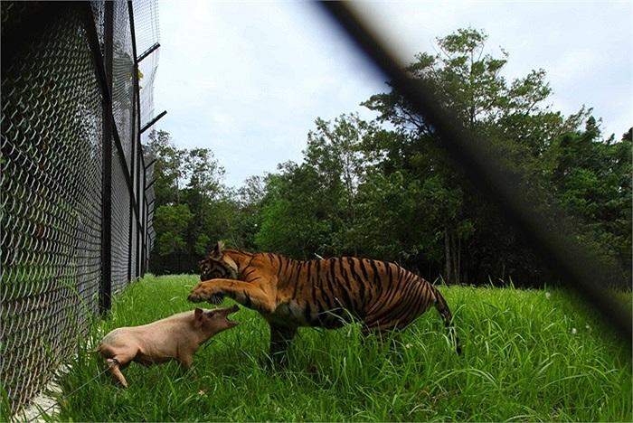 Một con hổ chuẩn bị tấn công con lợn ở đảo Sumatra của Indonesia,