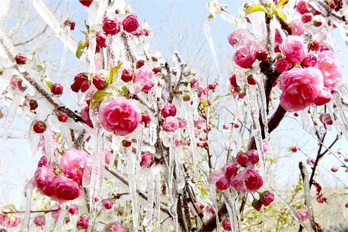 Băng đóng thành tảng trên cây hoa ở Hami thuộc khu tự trị Tân Cương, Trung quốc