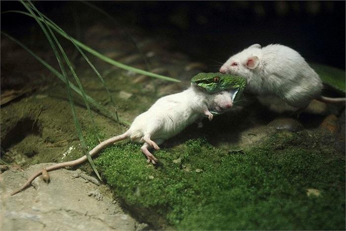 Một con rắn xanh làm thịt con chuột bạch ở thành phố Hàng Châu, tỉnh Chiết Giang, Trung Quốc