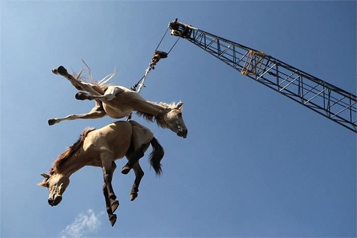 Hai con ngựa được vận chuyển bằng cần cẩu ở Indonesia