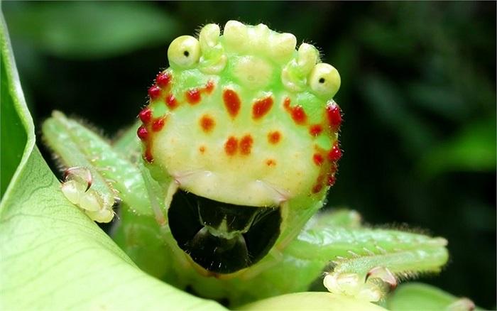 'Châu chấu' ma đầu lốm đốm đỏ kỳ quái ở vườn Quốc gia Barbilla, Costa Rica