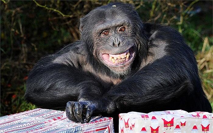 Tinh tinh vui mừng khi nhận quà Giáng sinh tại vườn thú Whipsnade, Anh