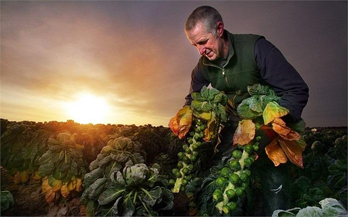Rau củ được thu hoạch chuẩn bị cho mùa lễ Giáng sinh ở vùng Lincolnshire, Anh