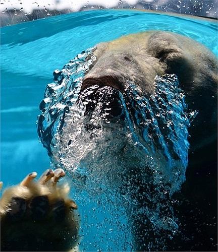 Gấu Bắc Cực nghịch nước trong vườn thú Singapore
