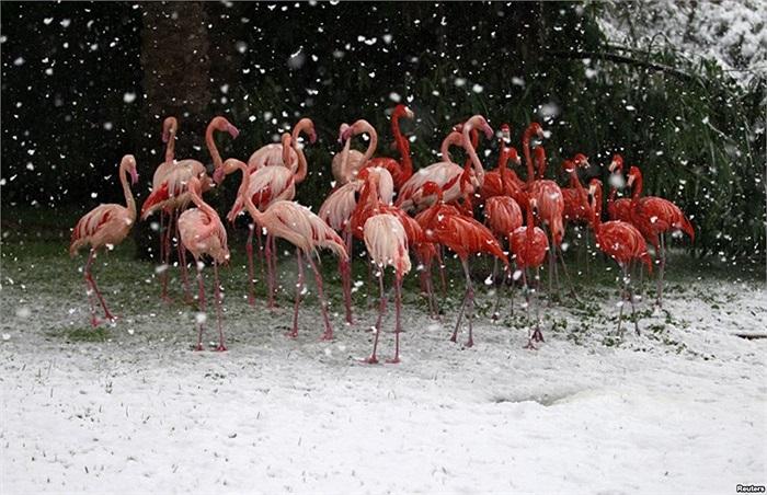 Chim hồng hạc đứng dưới tuyết rơi tại Sở thú ở Jerusalem