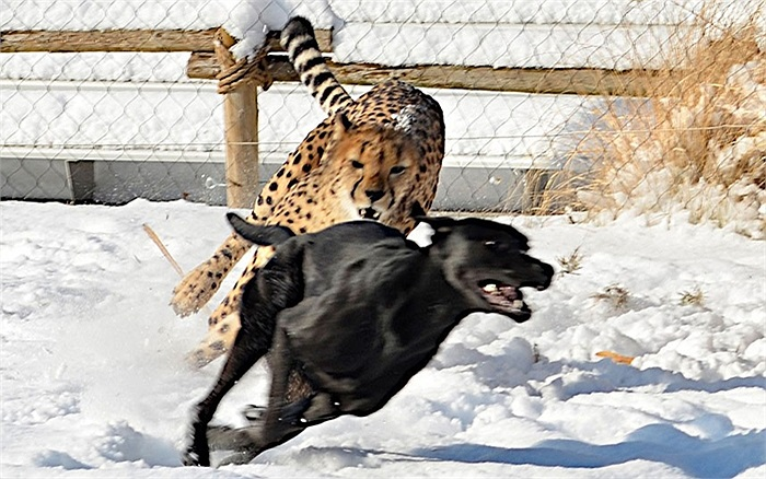 Báo đốm đuổi chó chạy trong Vườn thú Cincinnati, Ohio, Mỹ