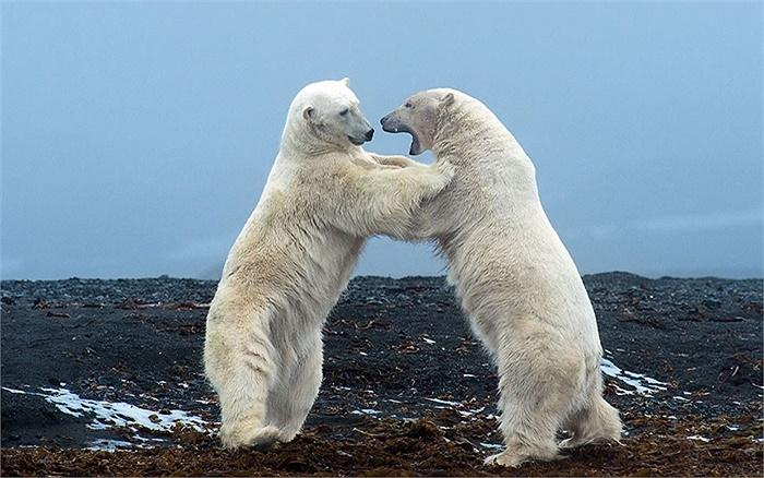 Gấu trắng chơi đùa với nhau ở Đảo Svalbard, Bắc Cực