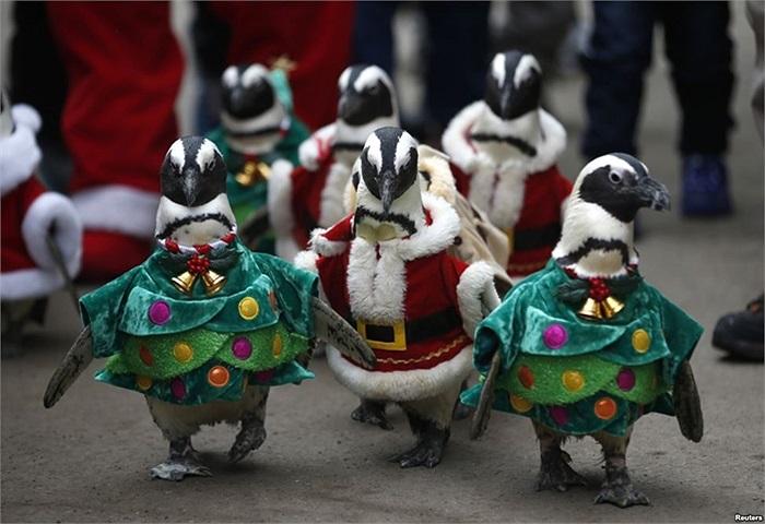 Chim cánh cụt mặc trang phục ông già Noel và cây Giáng sinh trong sự kiện quảng bá tại công viên giải trí ở Yongin, phía nam Seoul, Hàn Quốc