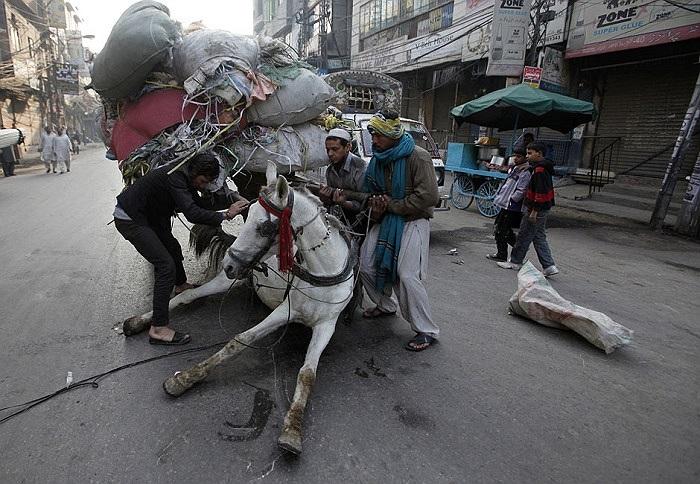 Một chú ngựa ở Lahore, Pakistan ngã khụy do chở quá nặng
