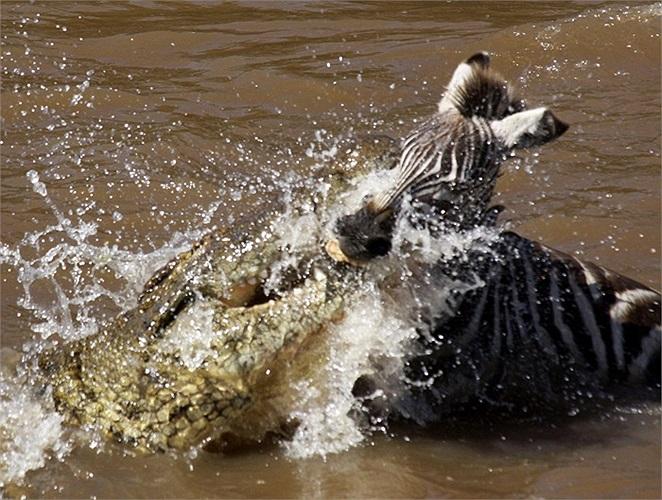 Những cú táp chết chóc của cá sấu châu Phi khổng lồ tại vườn quốc gia Masai Mara, Kenya