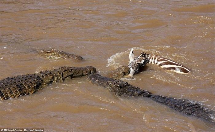 Chỉ trong vài giây, 2-3 con cá sấu khác đã ập đến đòi chia phần