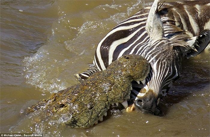 Nhưng không thể thoát khỏi tầm kiểm soát của con vật to lớn gấp nhiều lần có hàm răng vô cùng sắc nhọn này