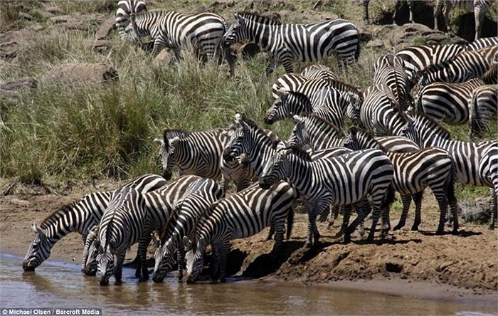 Lũ ngựa vằn khi mới đến mép nước vẫn thản nhiên đứng uống, lấy sức cho chuyến di cư lớn nhất năm