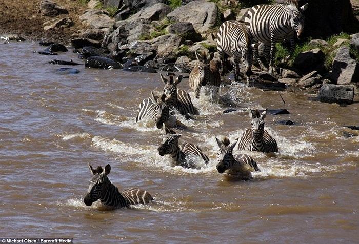 Đám ngựa vằn bắt đầu vượt sông, chuyến đi lành ít dữ nhiều