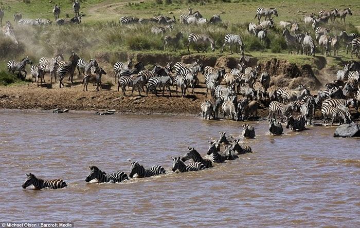 Nhưng phía trước đang là những kẻ săn mồi nguy hiểm bậc nhất của lục địa đen