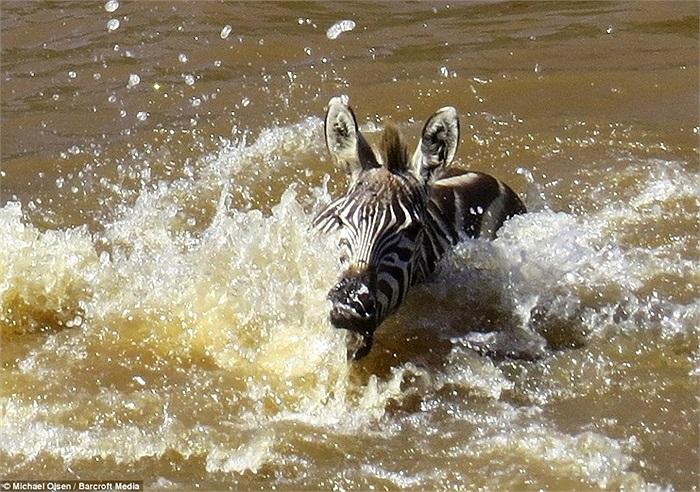 Mặt nước ngàu bọt, con ngựa vằn non bối rối