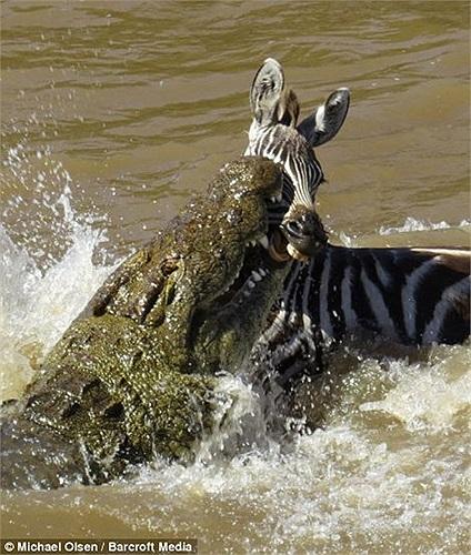 Một cú đớp rất mạnh từ dưới mặt nước và chú ngựa vằn đã không tránh được