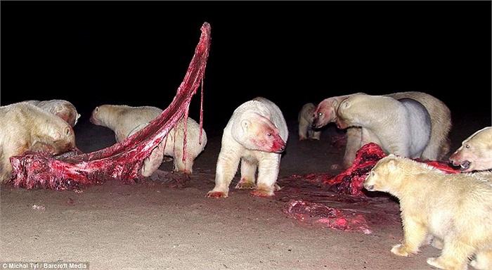 Những người dân Eskimo ở đây thường tiến hành săn cá voi vào mùa thu. Sau khi lấy đi những phần thịt tốt nhất, họ thường để lại chỗ thừa cho bầy gấu Bắc cực.