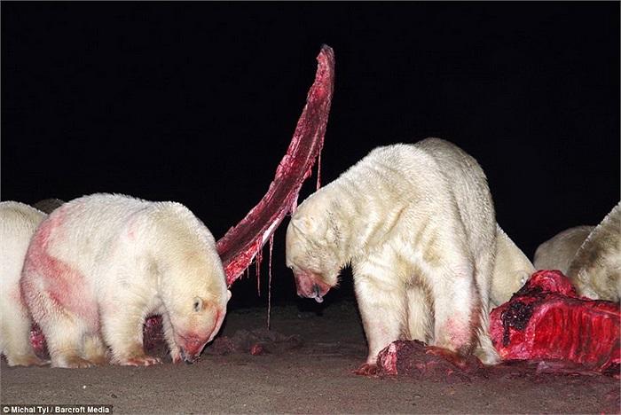 Việc nhiều gấu Bắc cực cả đực, cái, lớn, bé cùng tụ tập tại một chỗ như thế này là điều rất khó thấy trong tự nhiên.