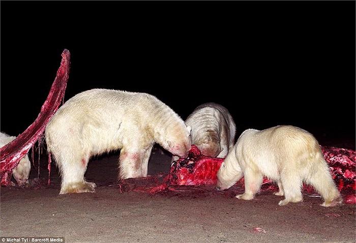 Bởi đặc tính của gấu Bắc cực là sống và săn mồi đơn độc, chúng chỉ đến gần nhau khi vào mùa sinh sản.