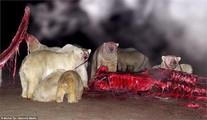 Chỗ thịt thừa này có vẻ là 'bữa tiệc' thịnh soạn với bầy gấu, bởi thế chúng không hề đánh lẫn nhau để tranh giành.