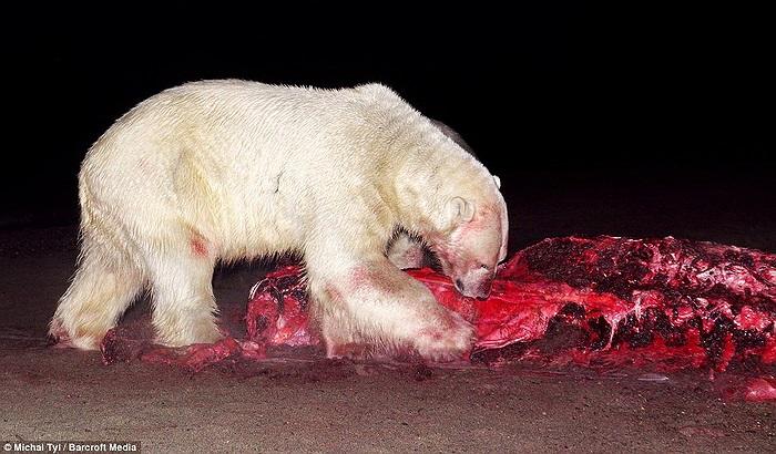 Được biết, gấu Bắc cực là một trong những loài động vật ăn thịt lớn nhất thế giới, sánh ngang với gấu xám Bắc Mỹ.