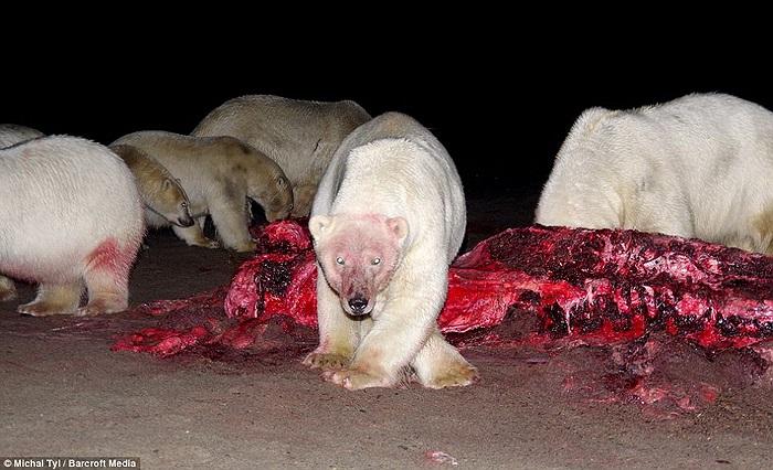 Khi không có thịt cá voi, thức ăn ưa thích của gấu Bắc cực là hải mã và cá.