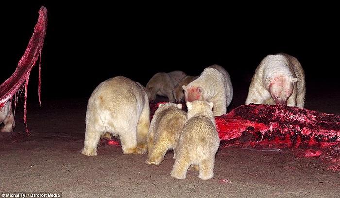 Để chén xong đống thịt thừa này, đàn gấu Bắc cực phải mất nguyên 1 ngày