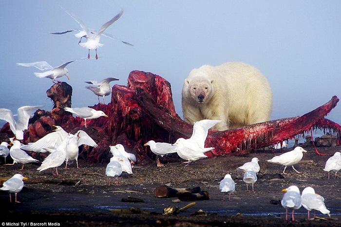 Những mấu thịt còn sót lại sẽ được những con mòng biển xử lý nốt.