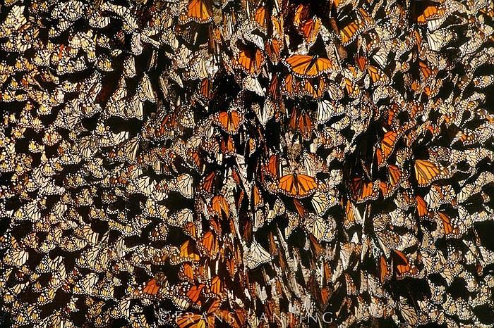Trong suốt kỳ trú Đông, thế hệ bướm cuối cùng sẽ có một giai đoạn 'đình sản'. Đến tháng 2 – 3 năm sau chúng mới bắt đầu sinh sản.