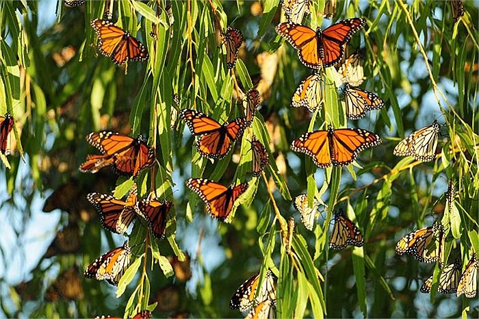 Các nàng bướm vua cái có màu sậm hơn so với các chú bướm vua đực.