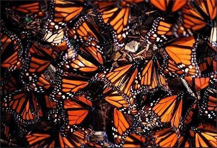 Cũng giống như các loài côn trùng khác, bướm vua có 6 chân nhỏ. Tuy nhiên, chúng thường chỉ đi bằng 4 chân sau, còn 2 chân trước áp sát vào thân.