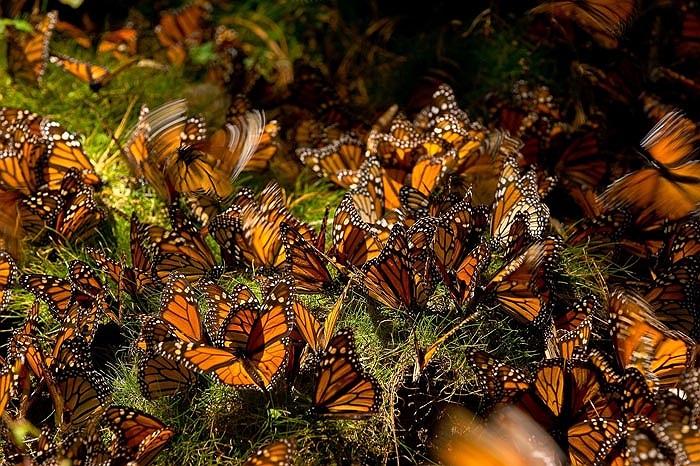 Khi trưởng thành bướm vua thường hút mật và phấn hoa. Bướm đực thường đậu trên mặt đất, đá ẩm ướt để hấp thụ hơi nước và chất khoáng. Người ta thường gọi  tập tính này của chúng là 'tắm bùn'.