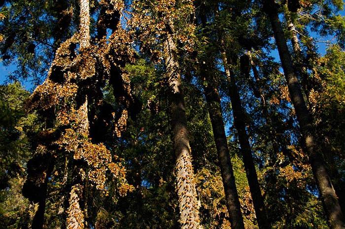 Môi trường sống của bướm vua là những cánh đồng, công viên, các khu vườn và lề đường.
