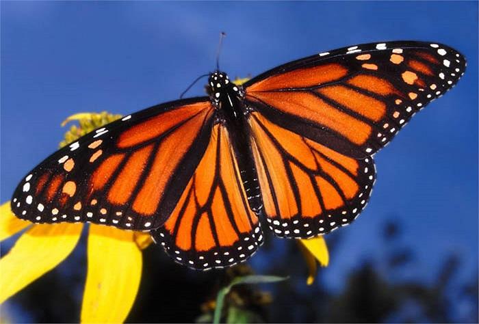 Loài cây mà bướm vua ưa thích, lựa chọn để đẻ trứng là cây bông. Sau đó, các chú sâu nhỏ ăn lá bông để phát triển.