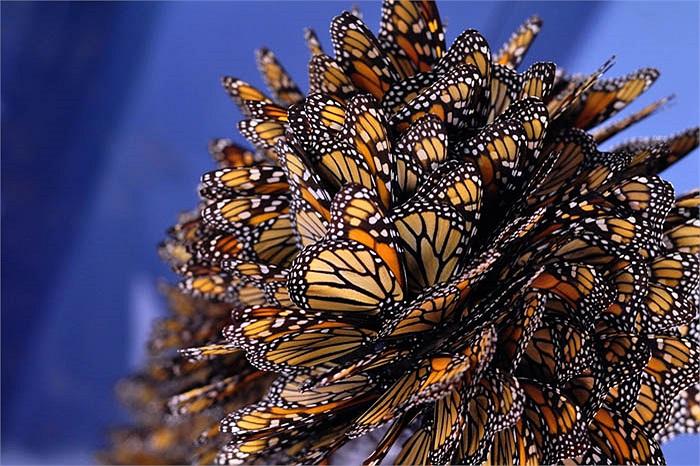 Trong những năm gần đây, do tình trạng khí hậu thay đổi, rồi nông dân dùng thuốc trừ sâu, thuốc diệt cỏ đã vô tình giết phần lớn lượng ấu trùng bướm.