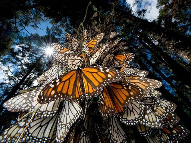Hiện chính quyền sở tại của Mexico đã trồng nhiều loài hoa với nhiều màu sắc khác nhau để chào đón đàn bướm vua và ra lệnh cấm giết hại chúng.