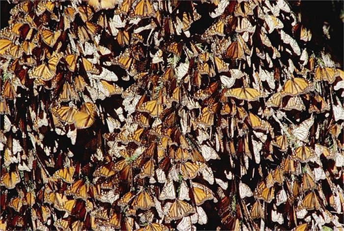 Vì vậy, để di chuyển hết quãng dường 3.000 km, sẽ cần đến sự tiếp sức thay thế của 3 – 4 thế hệ bướm vua.