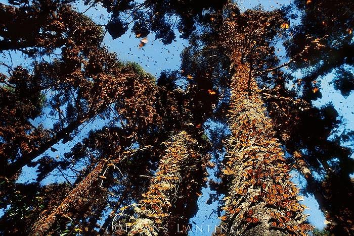 Đích mà các chú bướm vua cần tìm tới để trú đông là đỉnh núi Urquhart, Michoacan, Mexico. Nơi đây là điểm kết thúc và cũng là nơi bắt đầu của một chu kỳ mới.