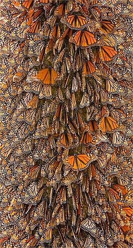 Bướm vua sinh sản trên suốt quãng đường di cư. Thế hệ bướm cuối cùng của mỗi kỳ di cư có tuổi thọ cao nhất, khoảng 7 – 8 tháng hoặc lâu hơn nữa.
