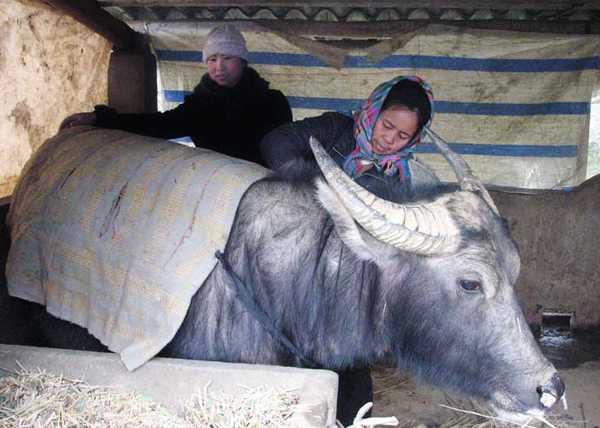Cán bộ khuyến nông hướng dẫn bà con vùng cao phòng, chống rét cho gia súc.