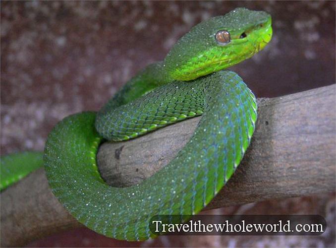 Các nhà khoa học đã nghiên cứu và khẳng định tất cả những con rắn tìm đến đền đều là loài cực độc. Chỉ một cú đớp của con rắn lục Viper, có thể đoạn mạng người trong phút chốc.