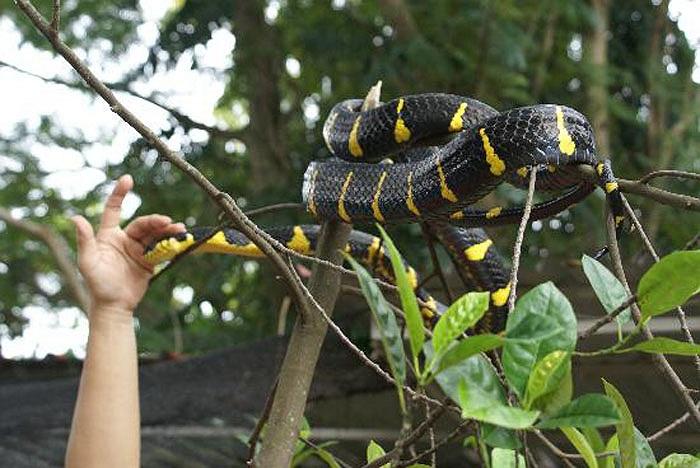 Tuy nhiên, có một điều lạ, là từ cả trăm năm nay, chưa ghi nhận trường hợp nào bị rắn độc cắn ở chùa Penang.