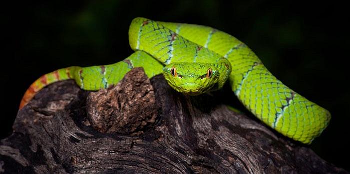 Có người sợ hãi chết ngất khi bước chân vào chùa, nhìn tứ phía đều thấy rắn. Tuy nhiên, có người bạo dạn, động chạm vào rắn, cũng không bị rắn cắn.