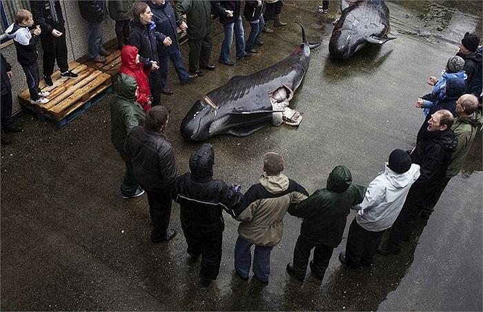 Cuộc săn cá voi tập thể này được gọi là 'grindadráp'