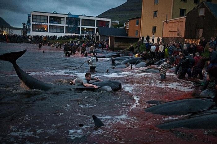 Ước tính, hàng năm vào ngày này có hàng trăm con cá voi bị giết hại